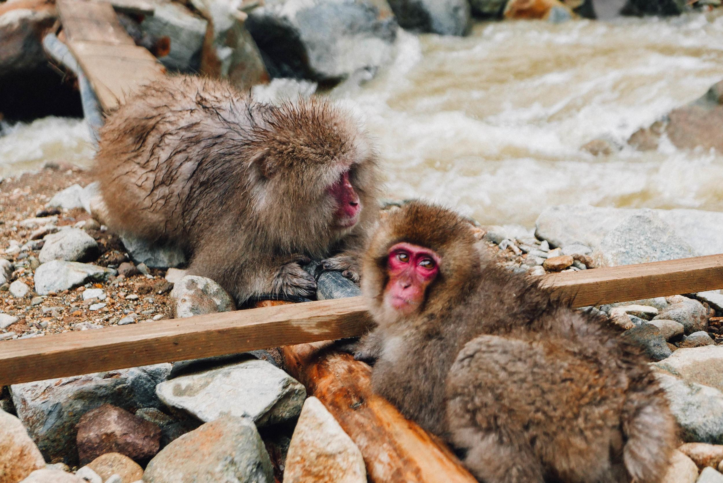wild-snow-monkeys-japan.jpg