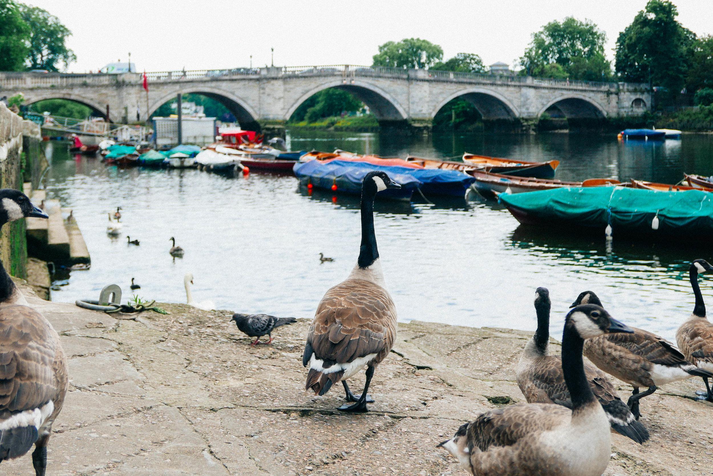 {Richmond Bridge - the oldest surviving Thames bridge in London}