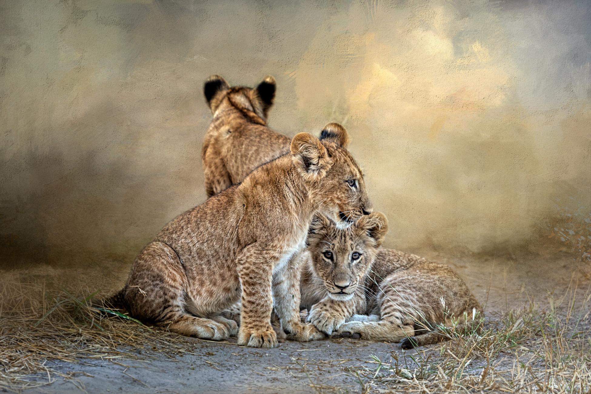 LION CUBS HAVING FUN!...MUM WATCHING.