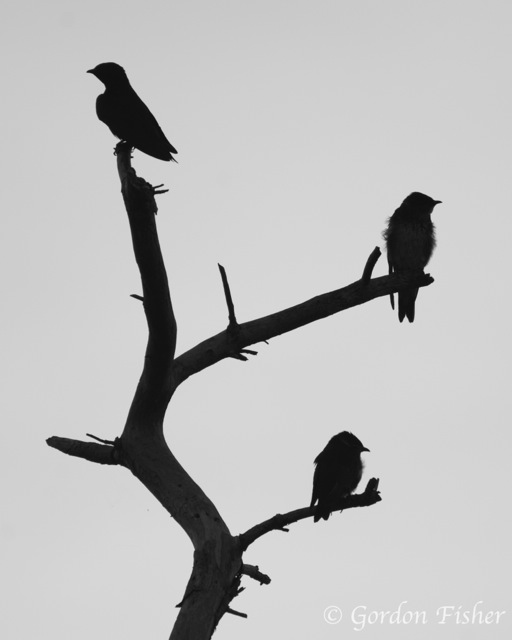 Swallows in Silhouette