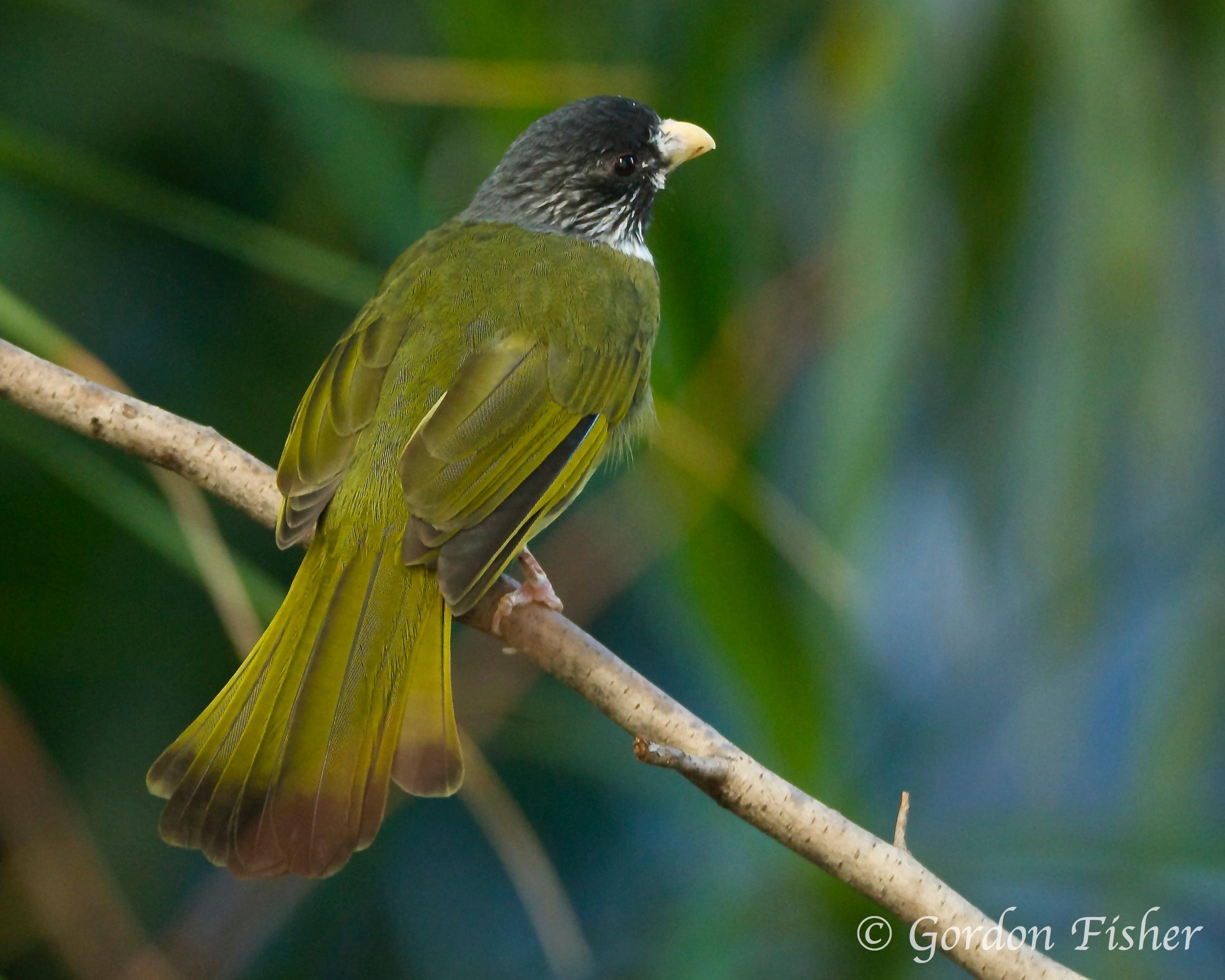 Collared Finch-billed Bulbul