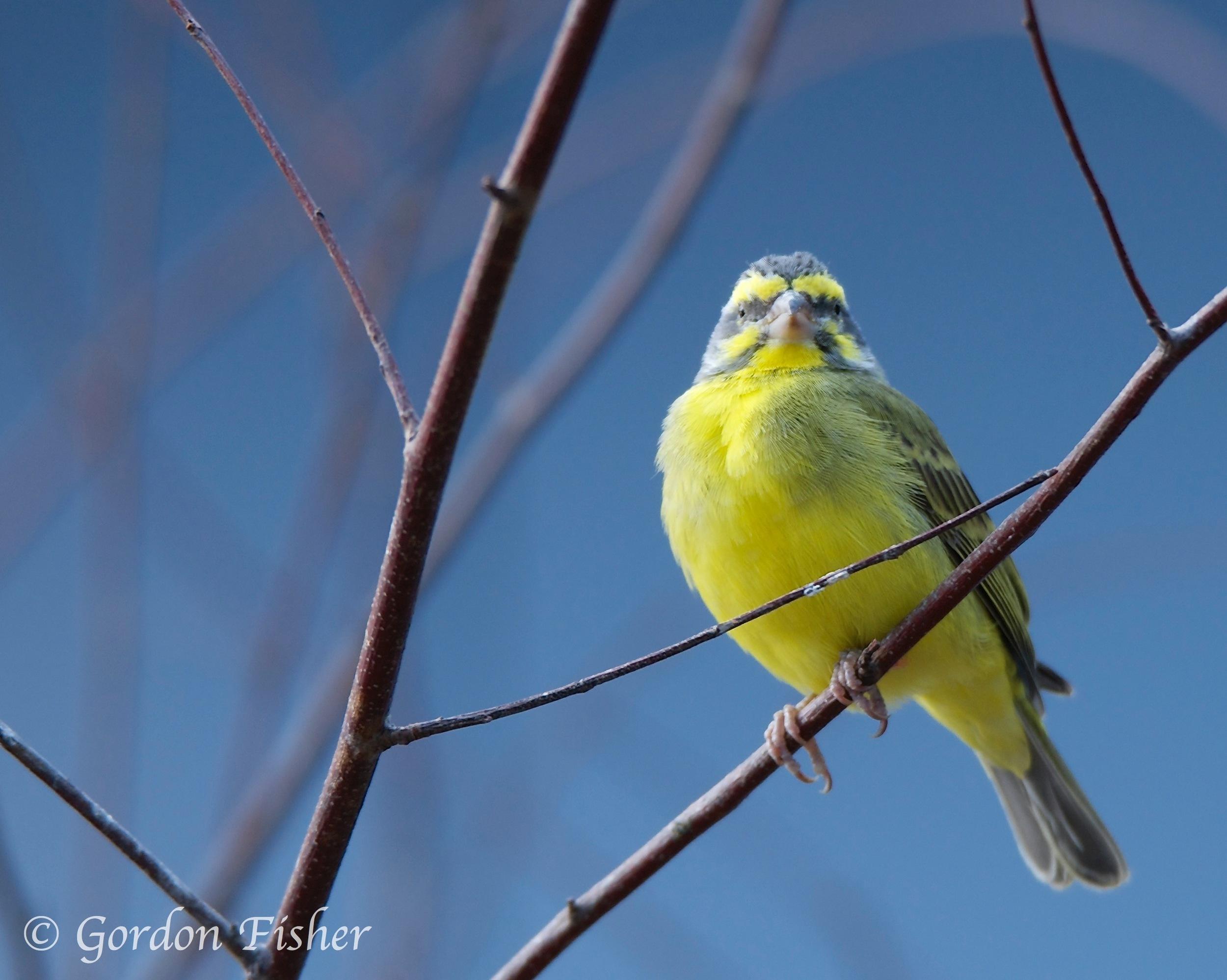 Green Singing Finch