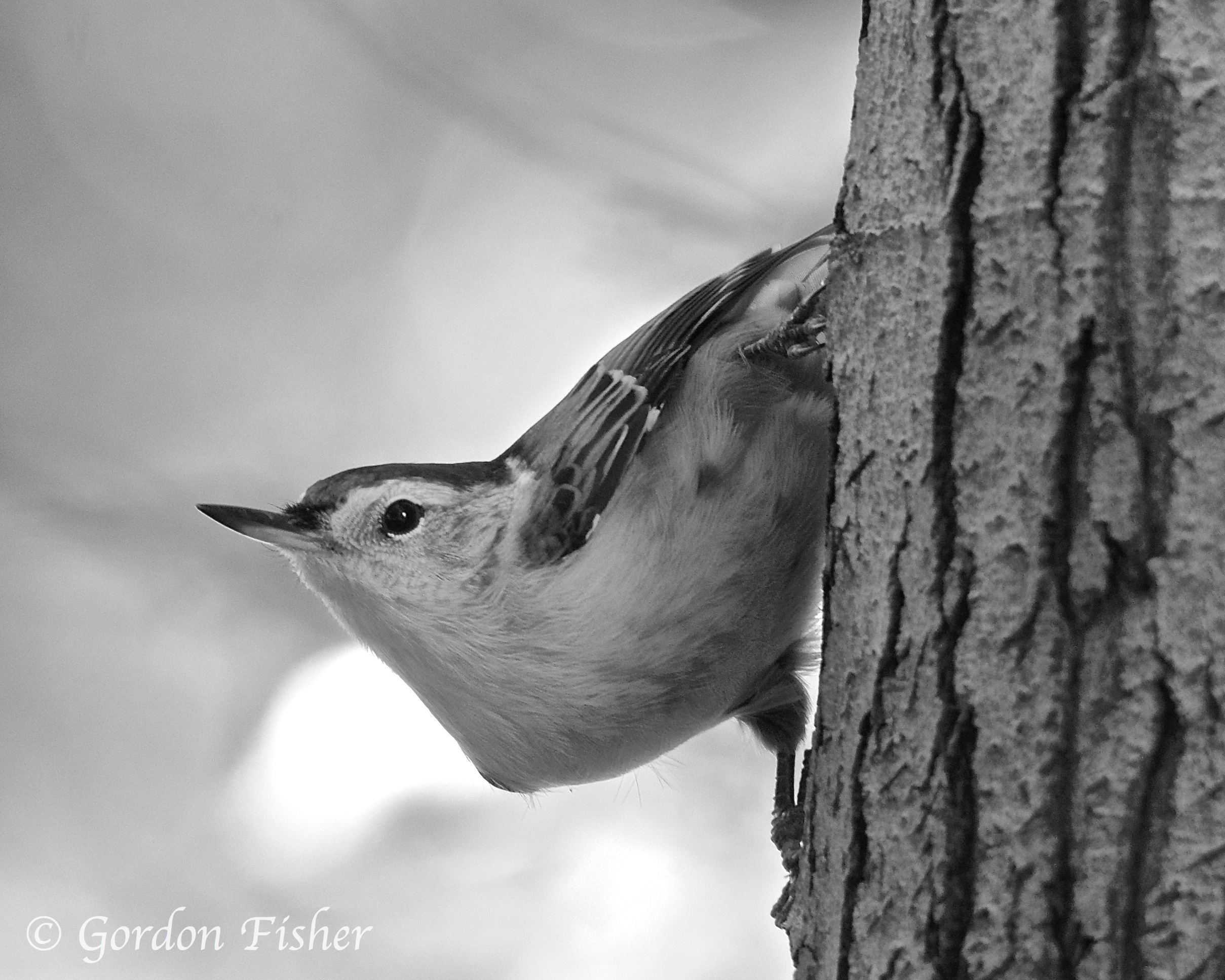 Nosey Nuthatch