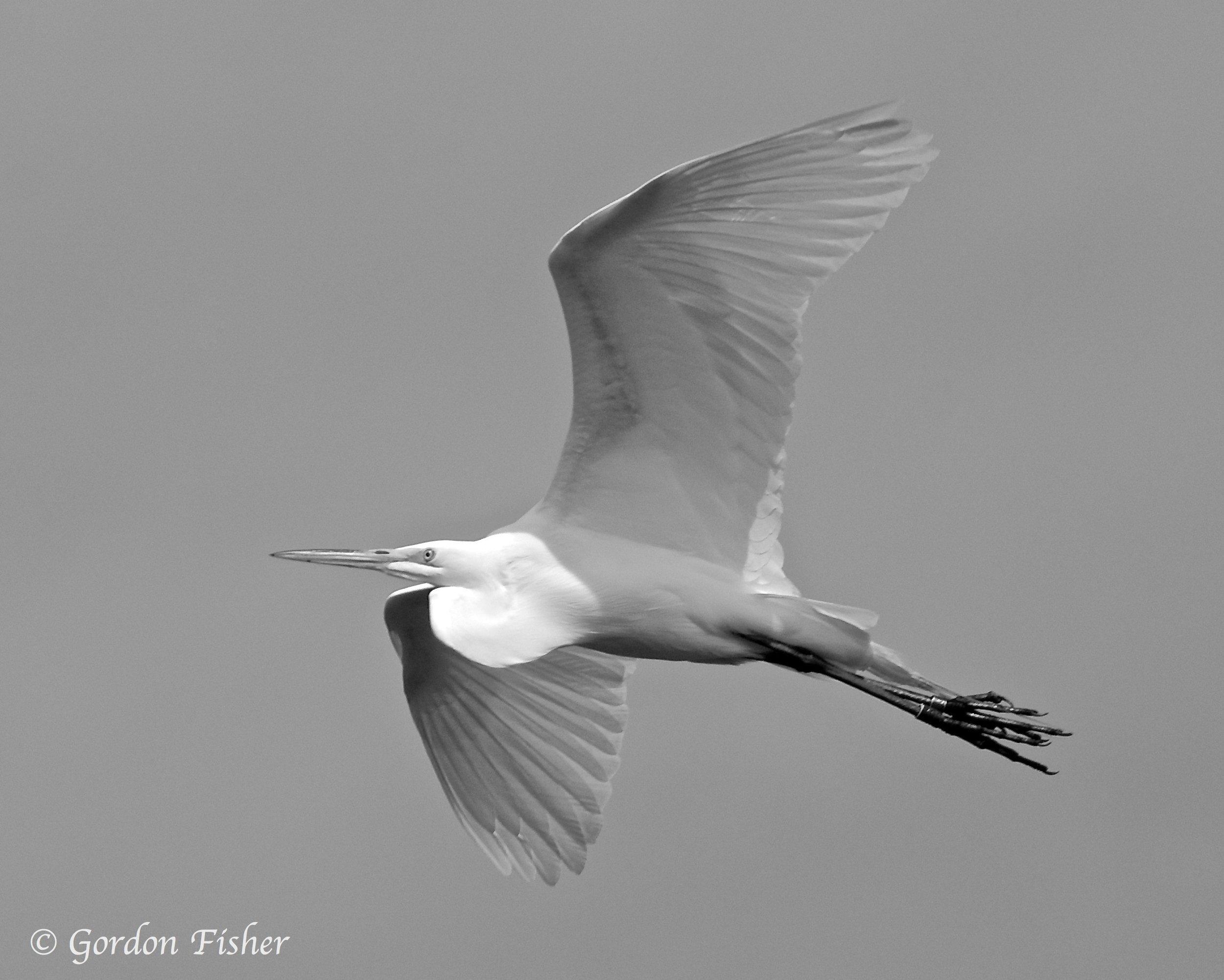 Evasive Egret