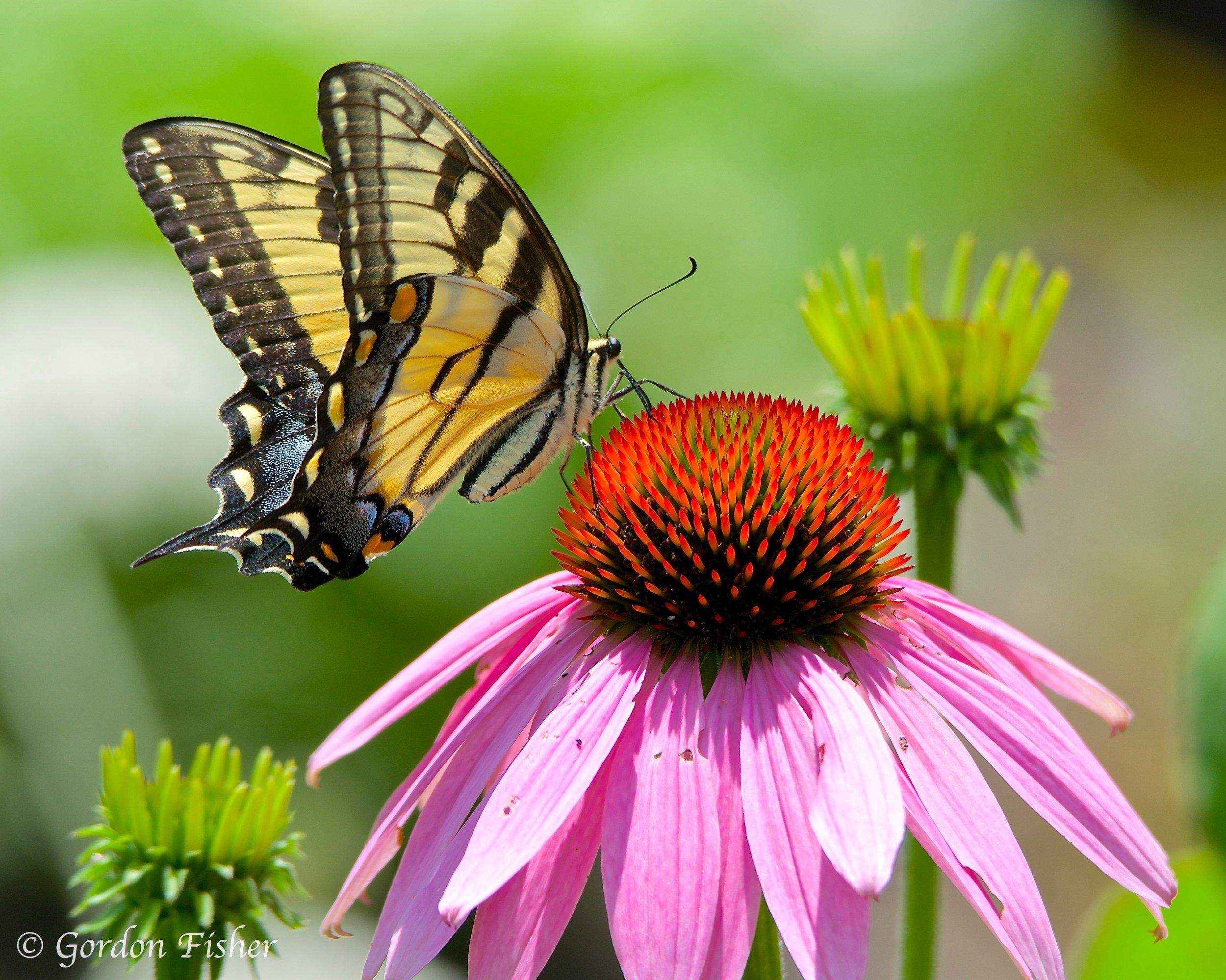 Swallowtail at Work