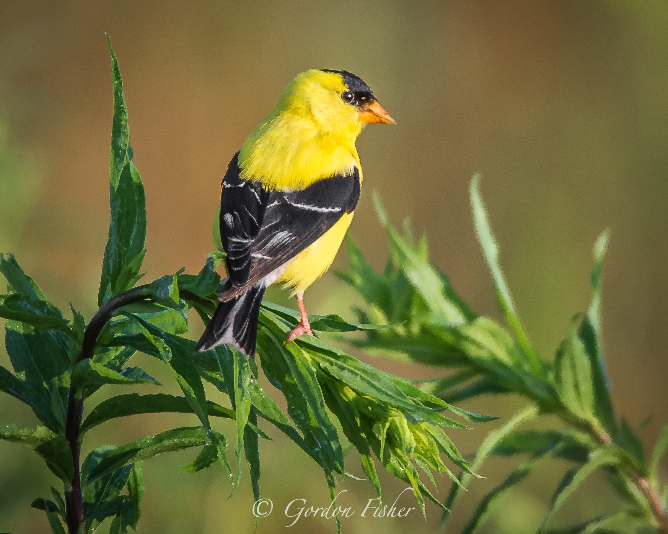Goldfinch at Sunrise
