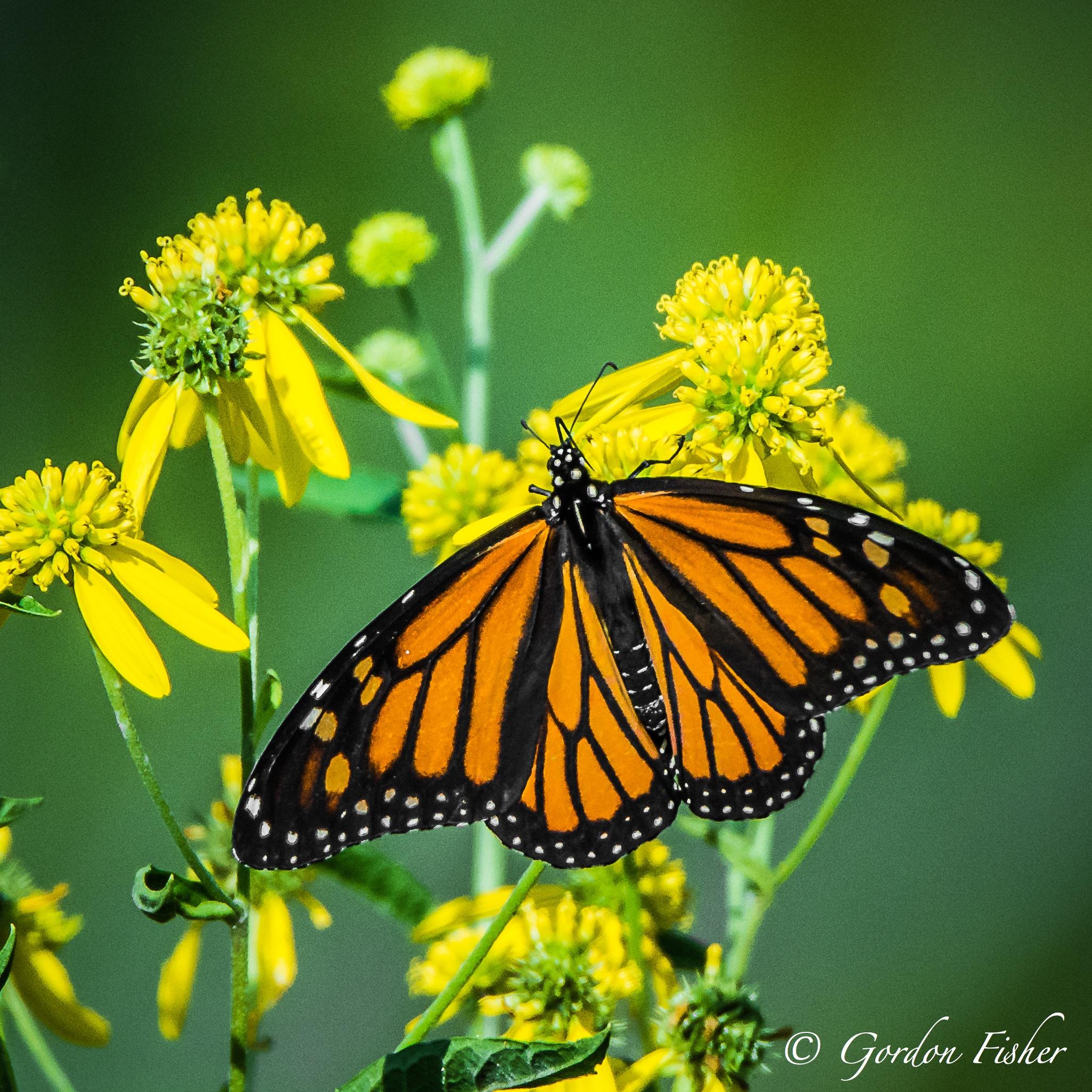 Munching Monarch