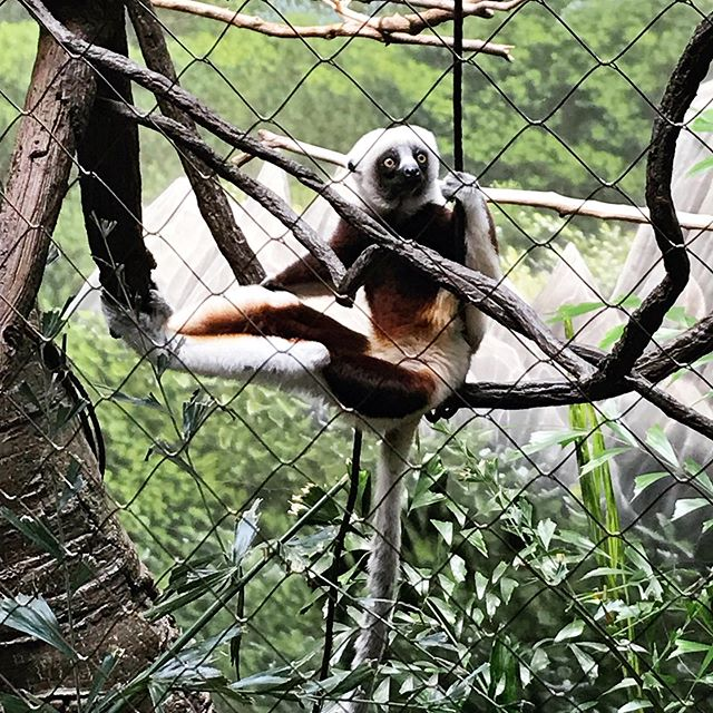 Lemurs and Fossas and Fennec Foxes, oh my! I saw all my fuzzy little favorites at the Bronx Zoo today. 😍 . . . #weekendadventures #nyc #bronxzoo #lemur #fossa #fennecfox #faves #citywitch #latergram