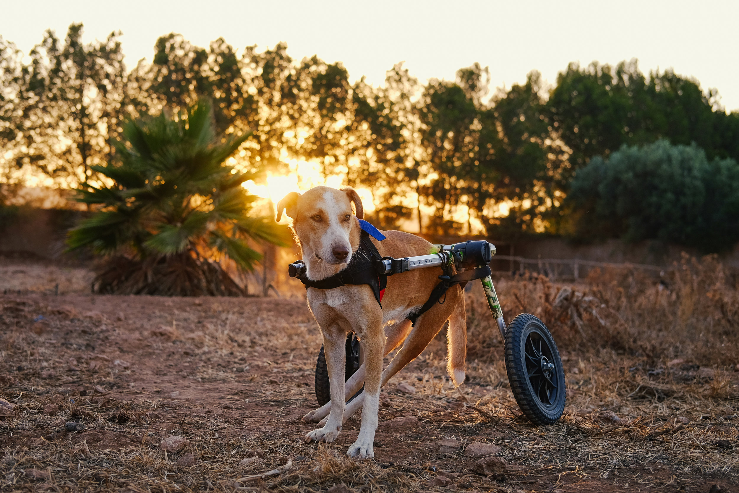 This is Dorado, one of the dogs being rehabilitated at C.A.R.E. in Essaouira, Morocco where I volunteered. (July 2019)