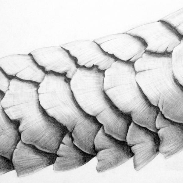Pangolin_drawing.jpg