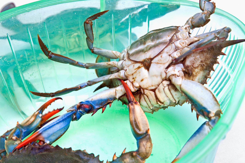 Female Blue Crabs fighting in my kitchen colander.