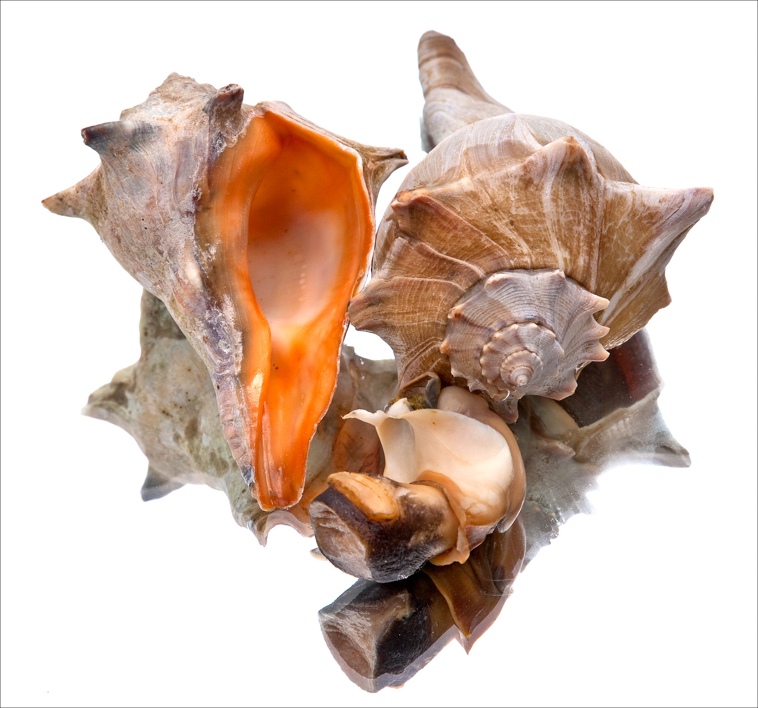A living Whelk and another that is cooked , resting on a mirror.