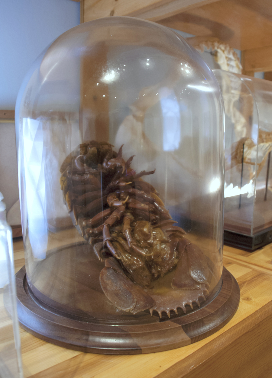 Sean Miller, Communibus Locis Interpretive Foundation (CLIF): Last Whole Earth Cabinet, 2013–14 Lent by Sean Miller and the Florida Museum of Natural History (Detail: Isopod), 2013-14.