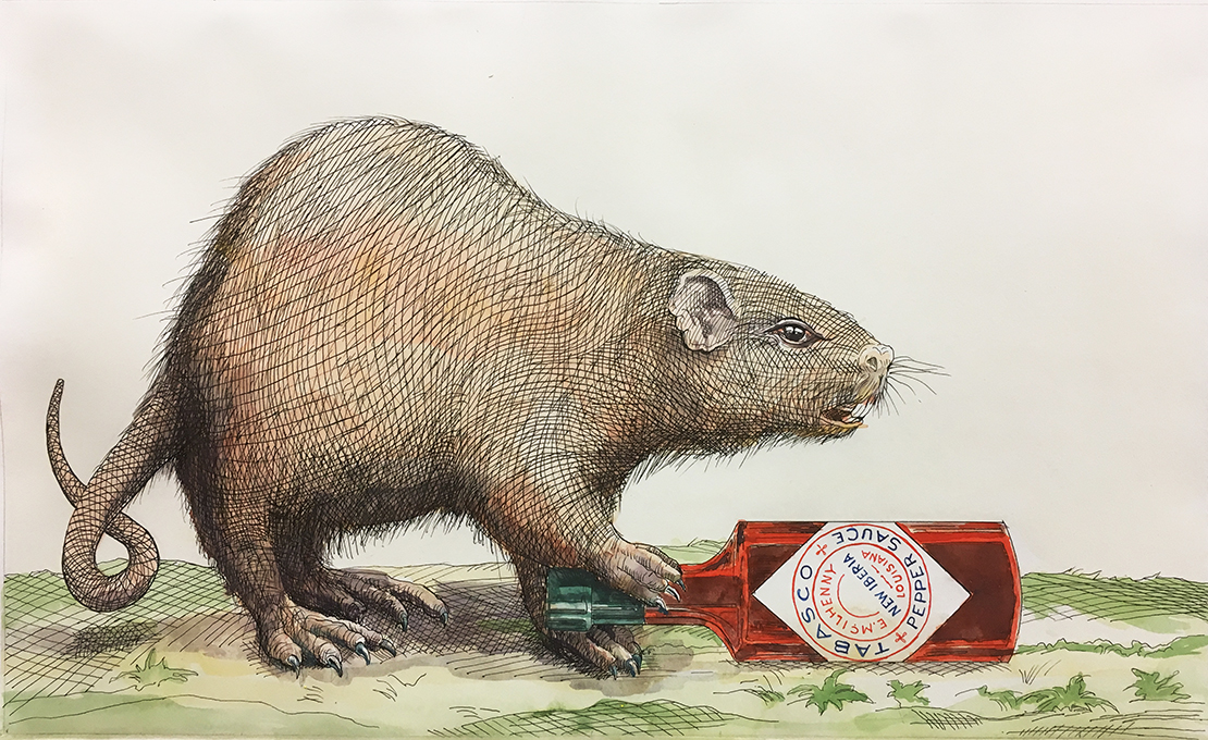 Sean Miller, Nutria with Tabasco Bottle, Ink and watercolor with water gathered from Hurricane Irma, 2017.