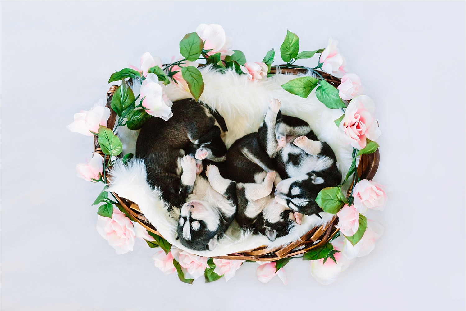 Newborn Husky Puppies First Easter in Youngstown, Ohio Photo Shoot by Pet Photographers