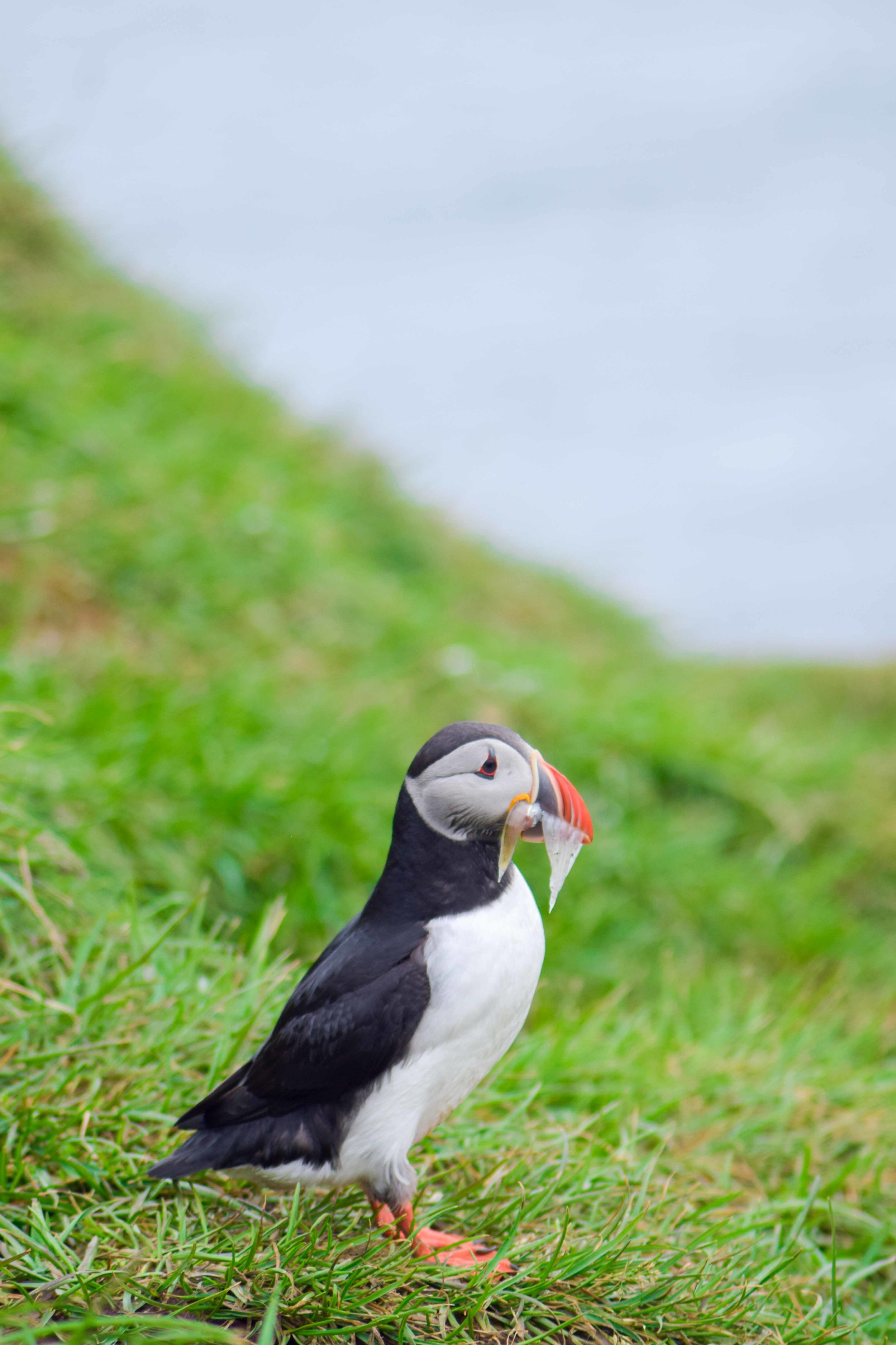 Best place to see puffins in Iceland
