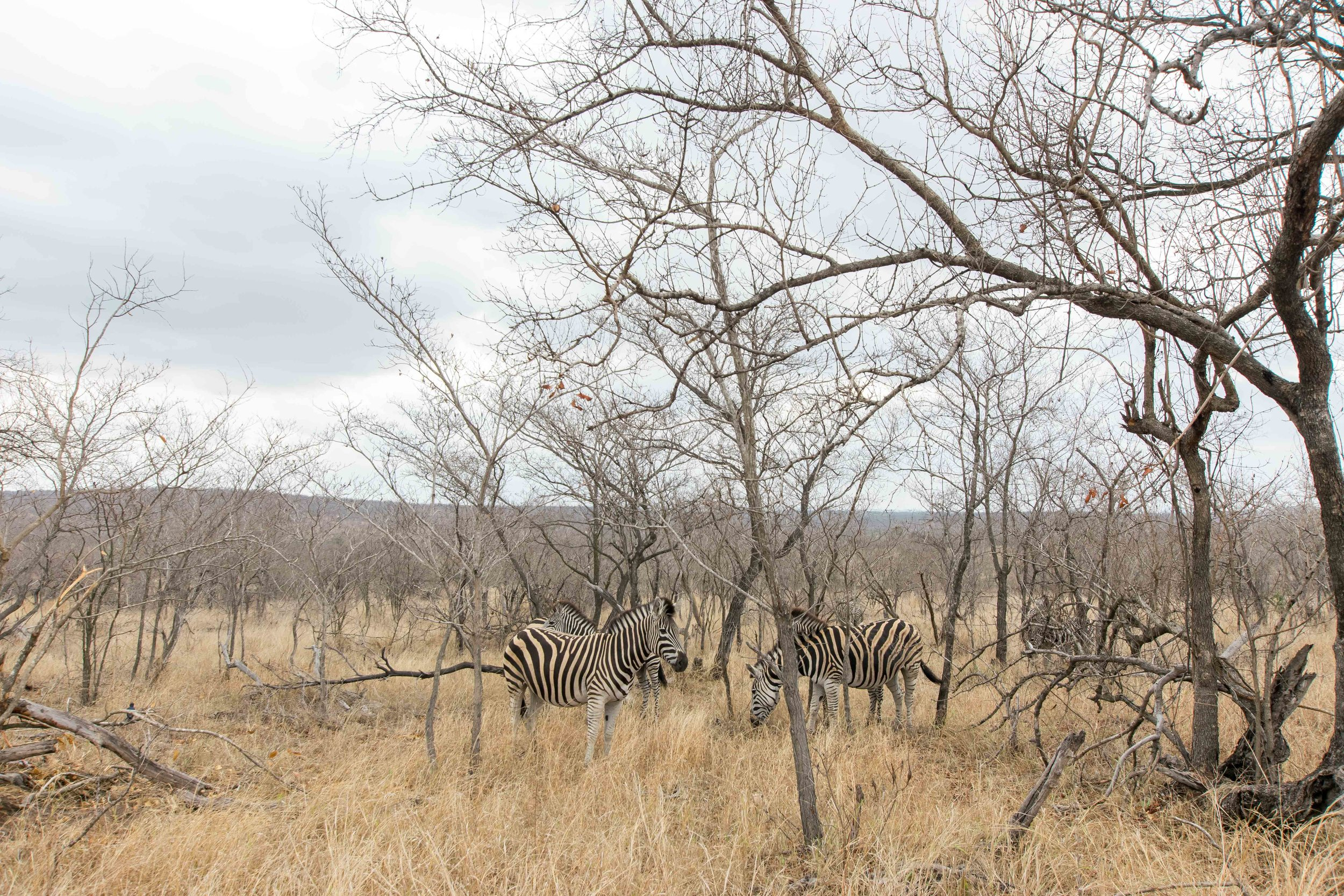 Hanging out with Zebras at Kruger National Park
