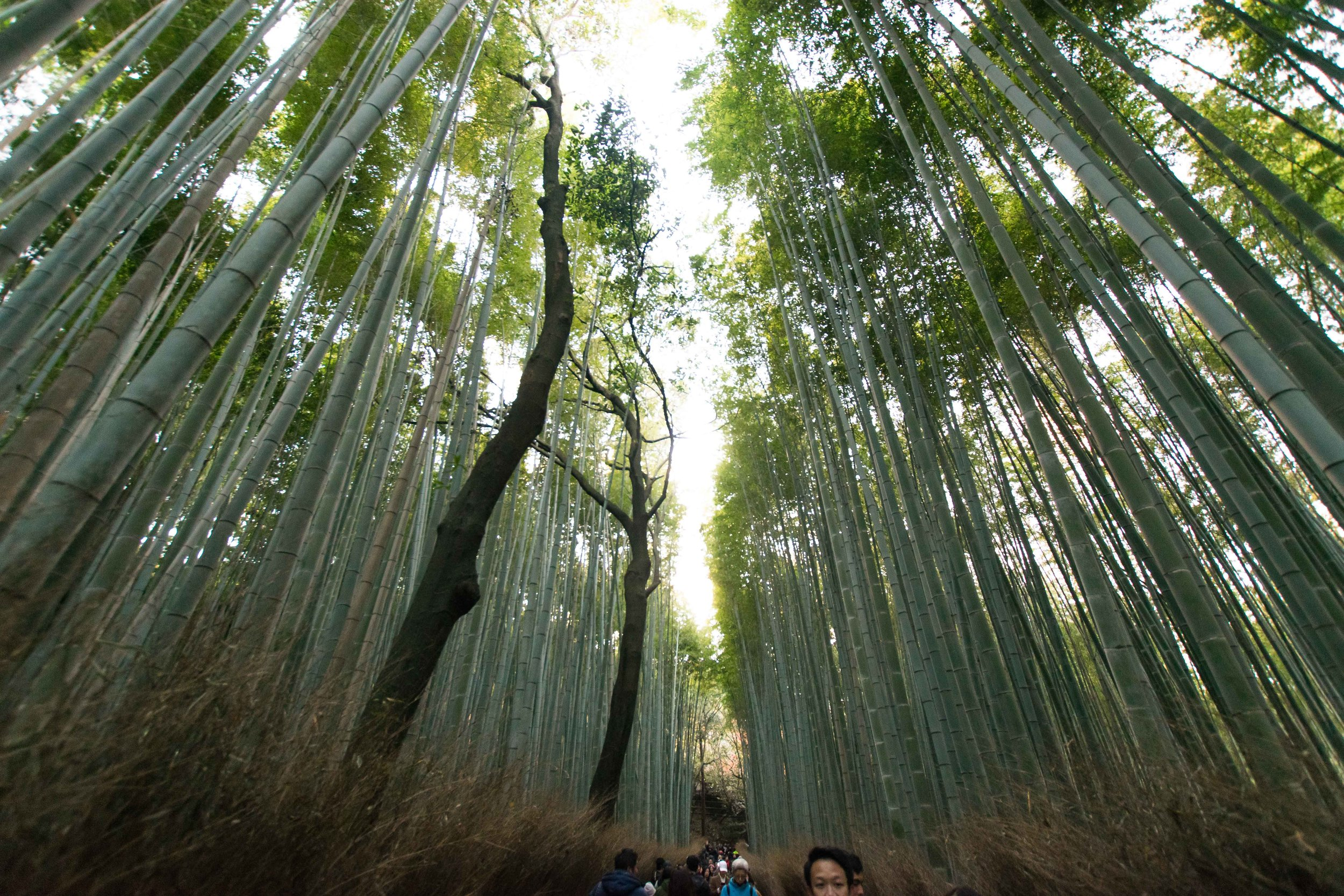 Bamboo forest outside of Kyoto