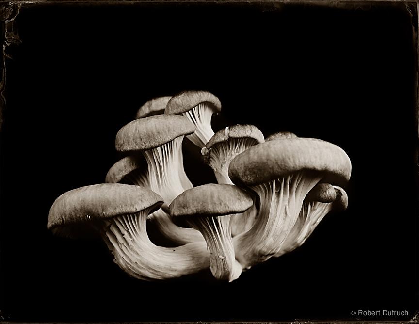 Champignon d'huître 1 by Robert Dutruch