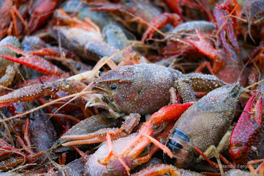 Crawfish 2 by Brandie Ferguson