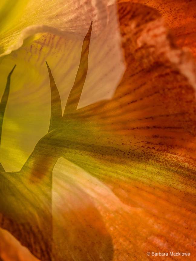 Double-time Amaryllis by Barbara Macklowe