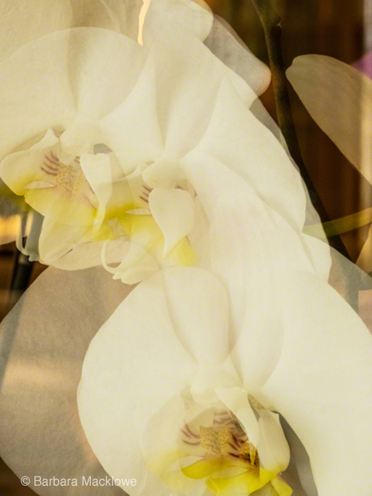 Double-time White Orchid by Barbara Macklowe