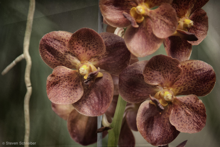 Orchids Dusky Orange by Steven Schreiber