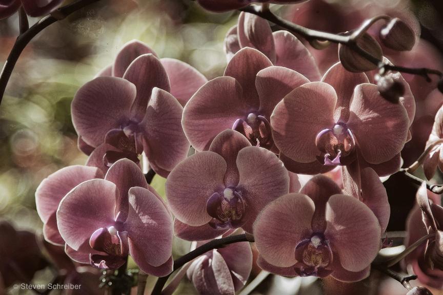 Orchids Deep Fuscia by Steven Schreiber