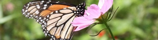 sskg_Monarch_on_Cosmos_1024x1024_bs.jpg