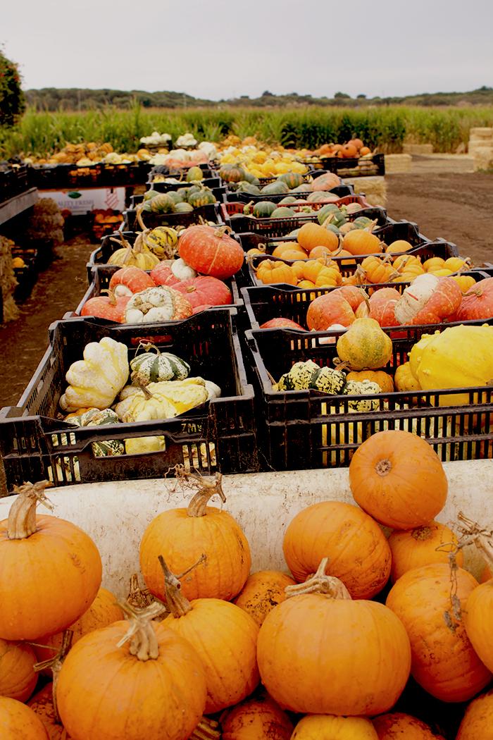 pumpkins insolence + wine