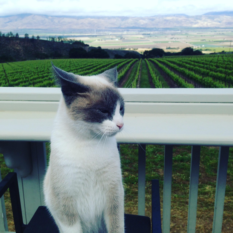 Hahn Cat insolence + wine