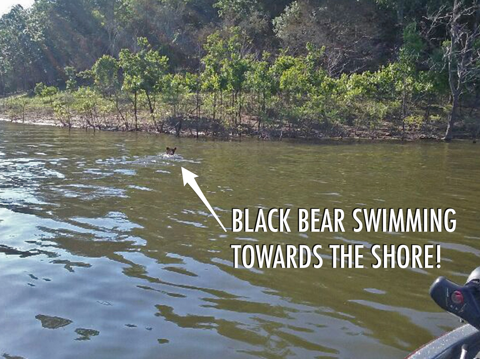 black-bear_swimming-in-lake-broken-bow-lake.jpg