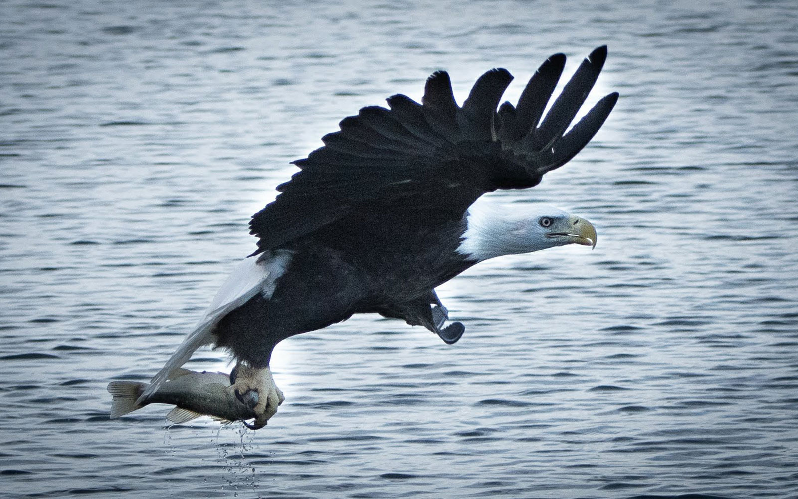 broken-bow-lake-4-seasons-fishing-guide-service-bald-eagle-4.jpg