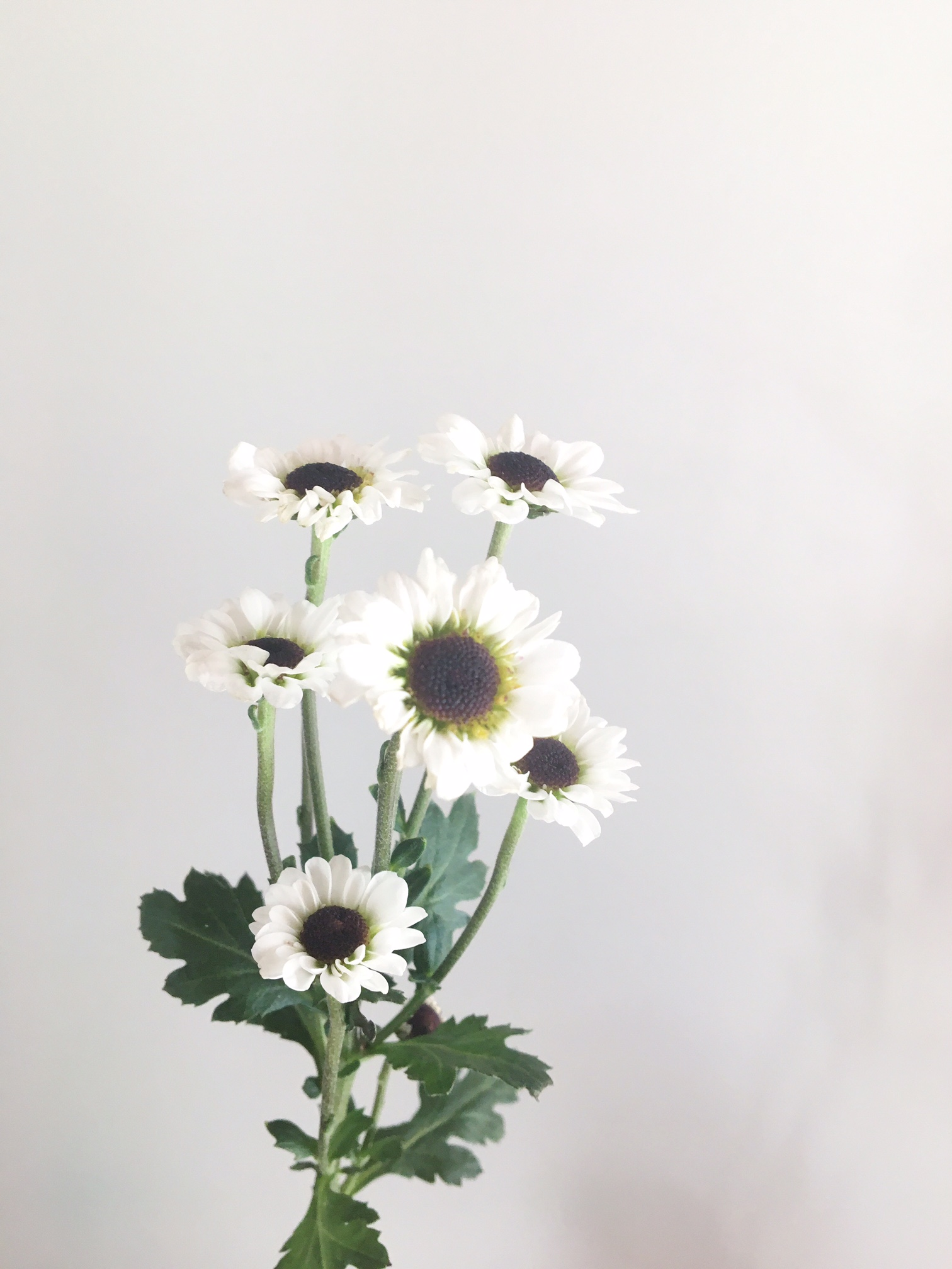 WHITE DAISY WITH BLACK CENTER