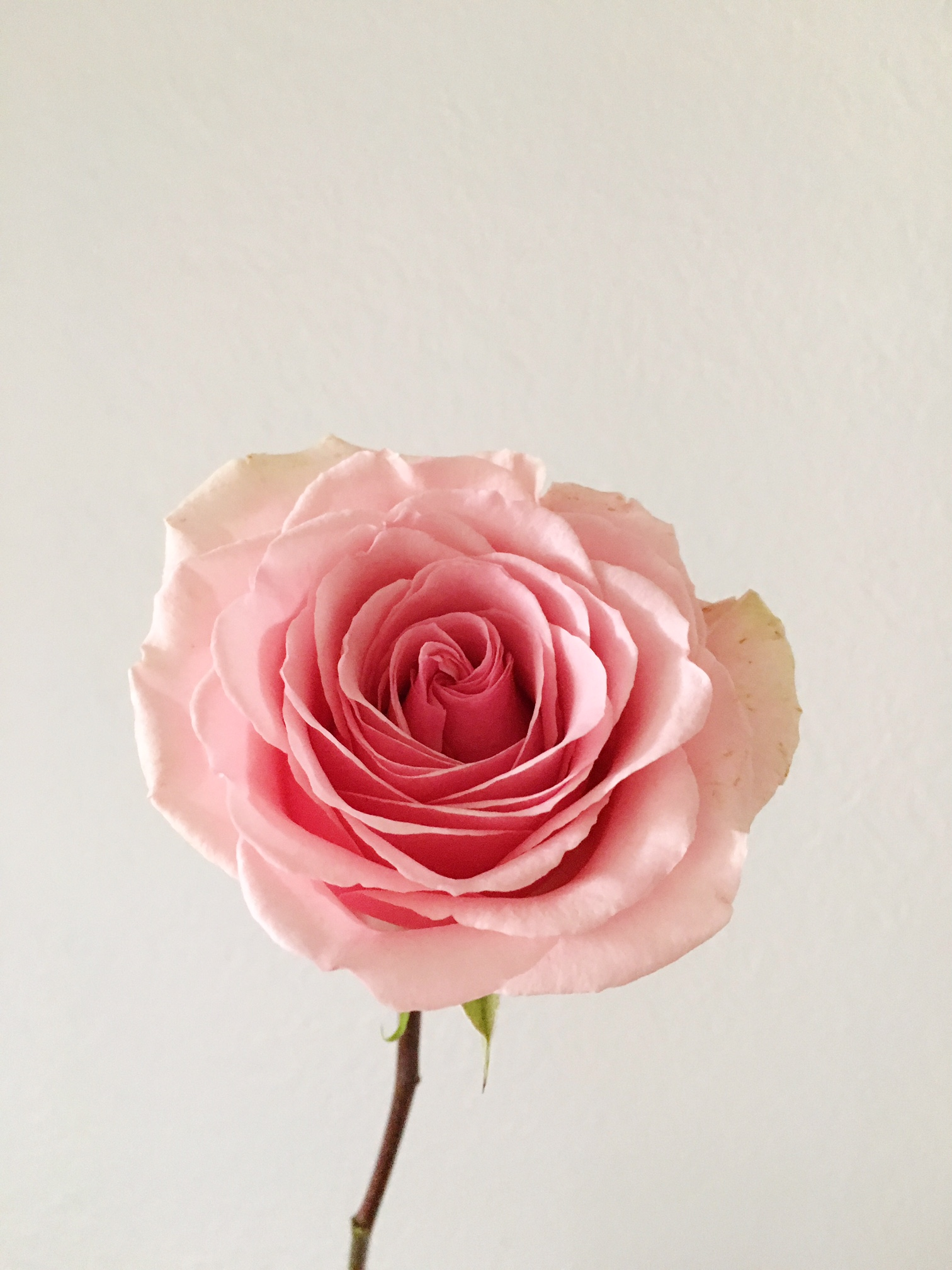 GERALDINE ROSE