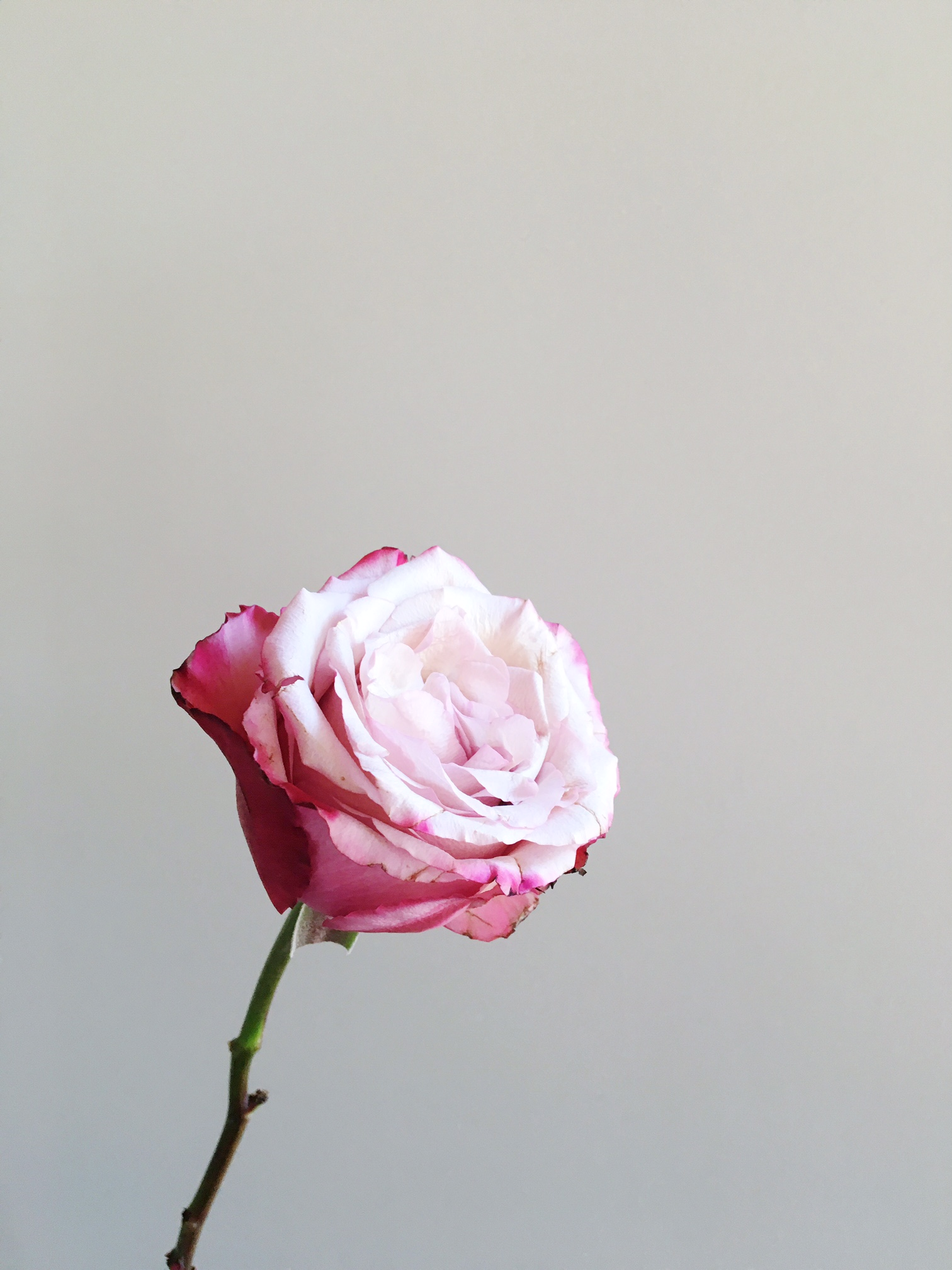 SWEETBERRY ROSE