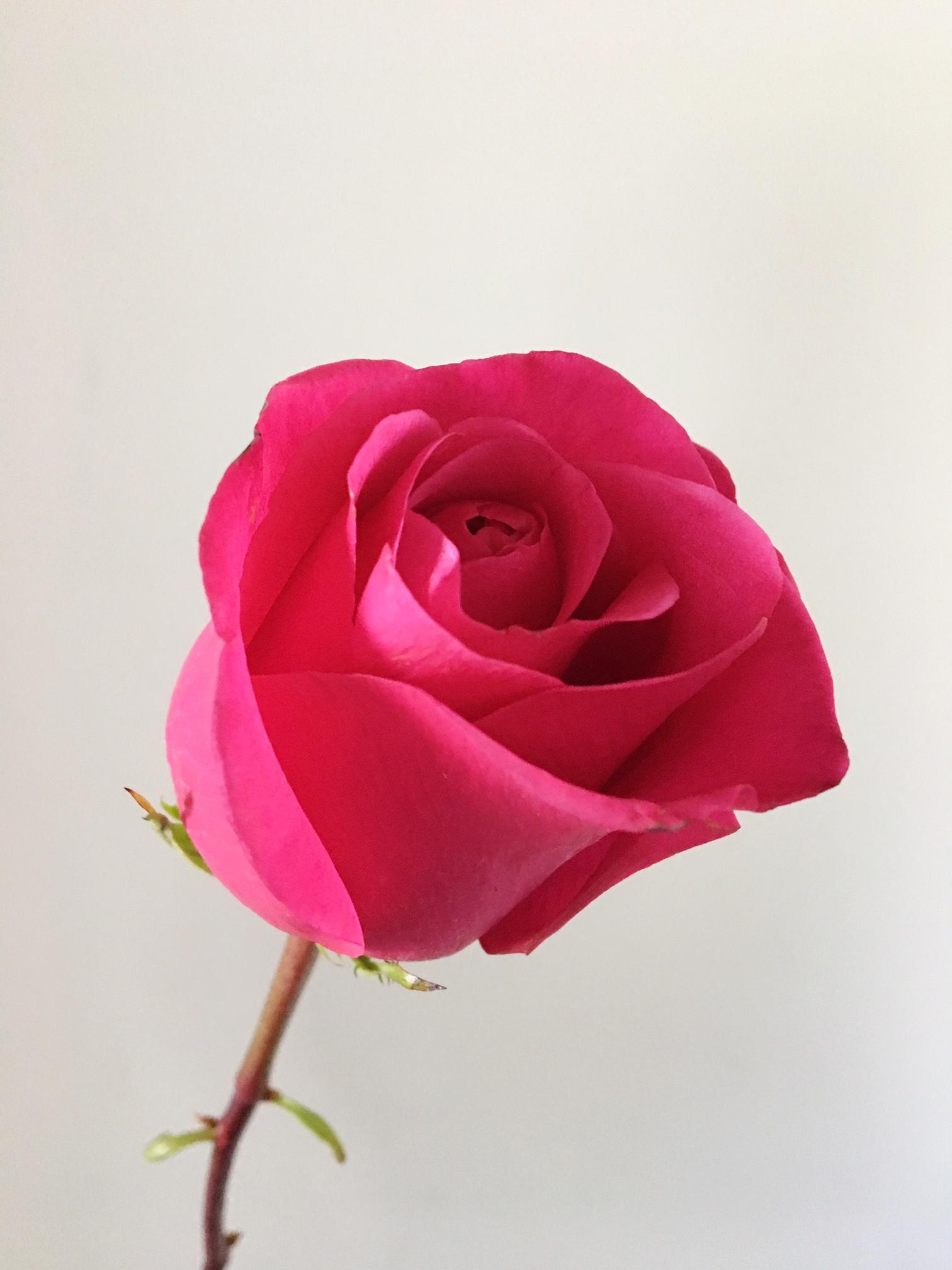 HOT PRINCESS ROSE