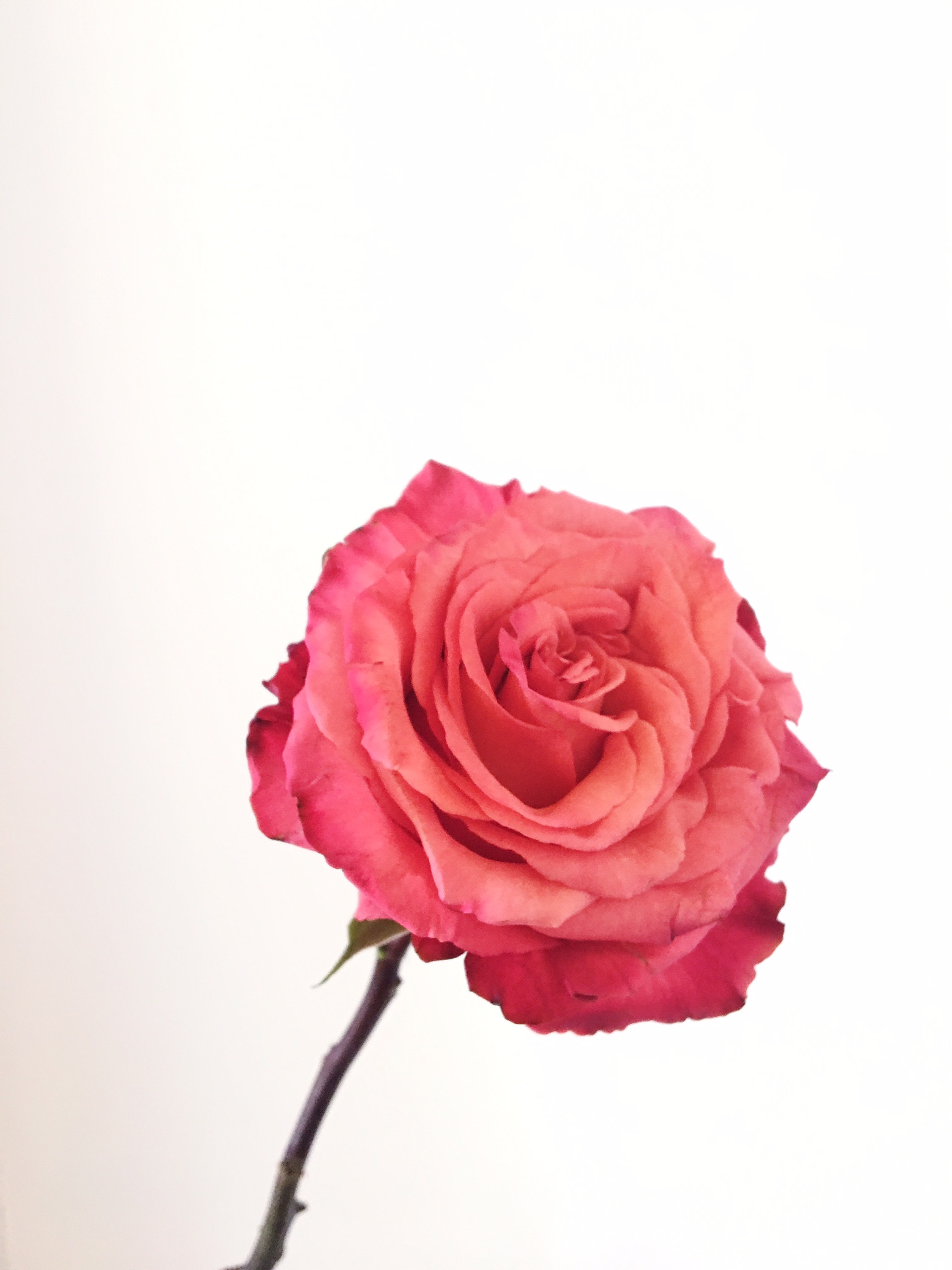 HIGH & HAPPY ROSE