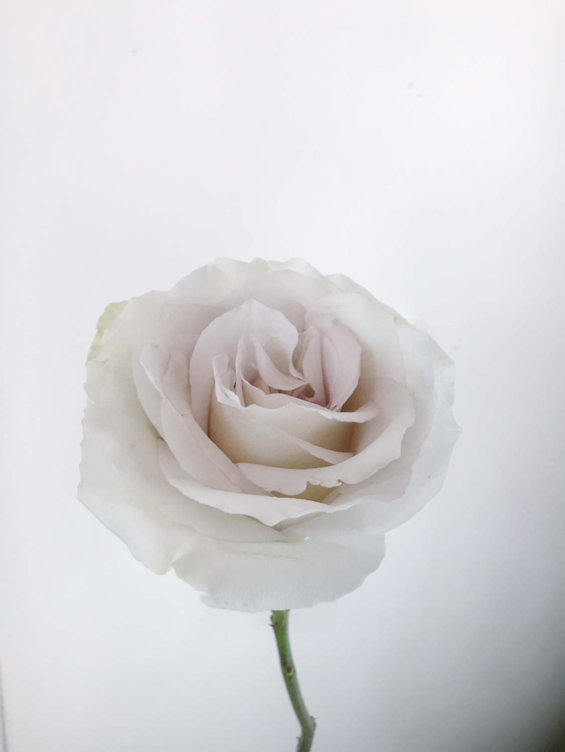EARLY GREY ROSE