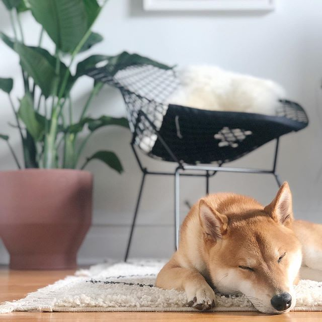 When your shibe compliments your home @it_me_yoshi ❤️ . . . #minimalinterior #minimalmood #interiors #interiordesign #interiorstyling #whywhiteworks #whiteaddict #liveauthentic #postitfortheaesthetic #seekthesimplicity #lovelysquares #minimal #minimalmood #momentslikethese #thehappynow #thatsdarling #darlingmovement #darlingweekend #pursuepretty #visualsoflife #artofvisuals #chasinglight #makemoments #flashesofdelight #finditliveit #shibainu #shiba #minimalpup