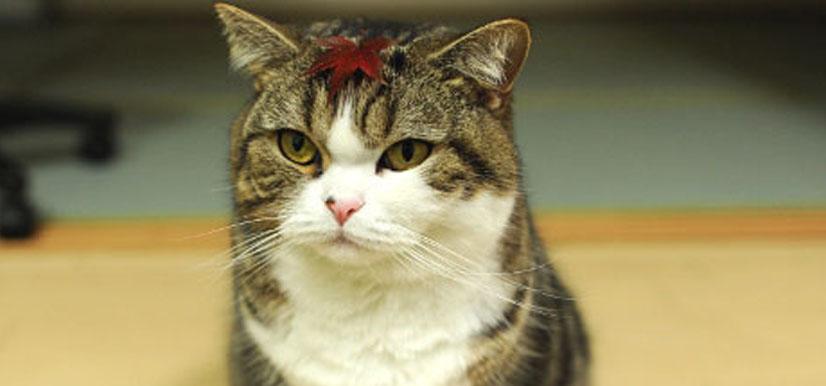 Maru |Scottish Fold Cat