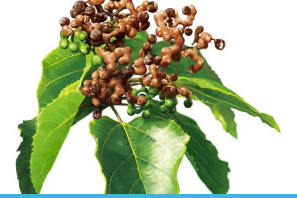 DHM extract from oriental raisin trees has been shown to greatly reduce hangover symptoms.