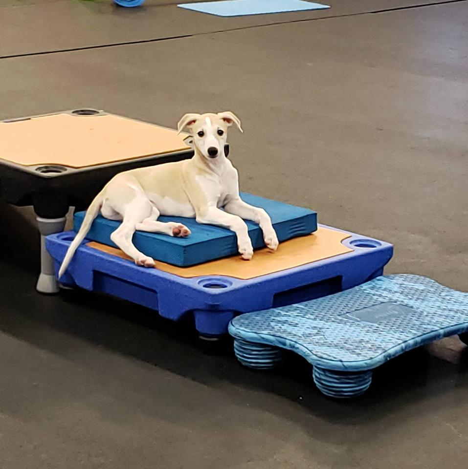 Flynn at 9 weeks old, beginning his journey to body awareness, strength and confidence using the canine conditioning system.