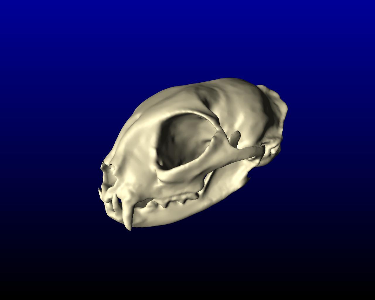 cat_skull_001.jpg