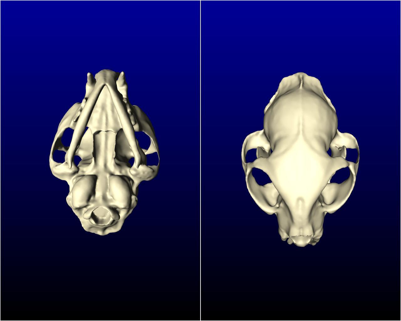 cat_skull_002.jpg