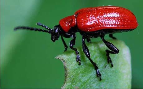lily-beetle_1479209c