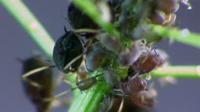 stock-footage-aphids-macro