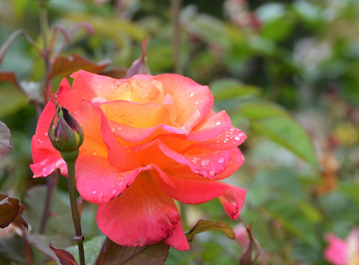 růže, smelling the same