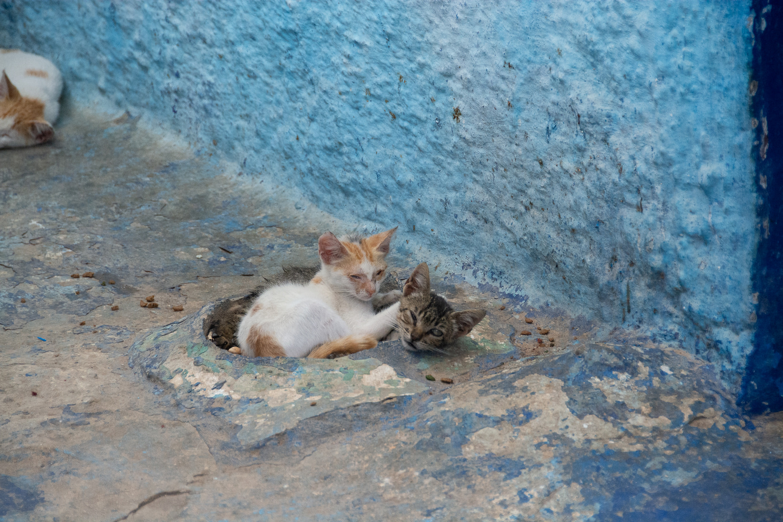 moroccan street cats