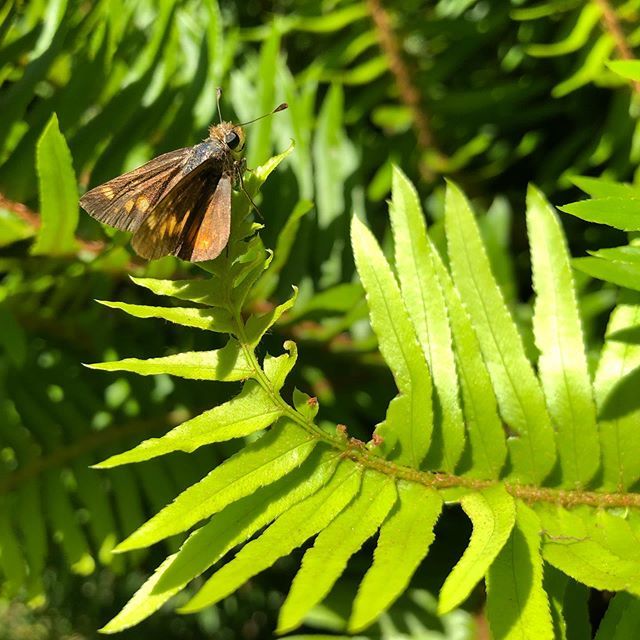 Red admiral nectaring at honeysuckle and umber skipper on sword fern!